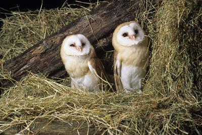 Barn Owls-David Aubrey-Photographic Print