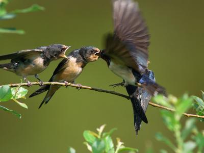 Barn Swallow Chicks, Hirundo Rustica, Being Fed by a Hovering Parent, Arlington, Massachusetts, USA-Darlyne A^ Murawski-Photographic Print
