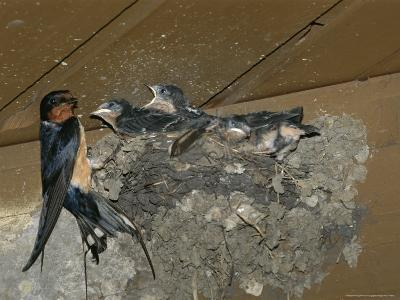 Barn Swallow Mother Feeds Her Young-Norbert Rosing-Photographic Print