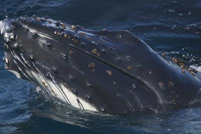 Barnacle Covered Mouth of Humpback Whale-DLILLC-Photographic Print