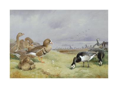 Barnacle Geese-Archibald Thorburn-Premium Giclee Print