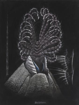 Barnacle-Philip Henry Gosse-Giclee Print