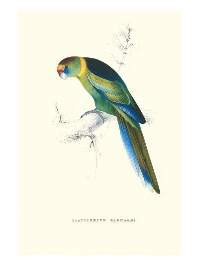 Barnard's Parakeet - Barnardius Zonarius Barnardi-Edward Lear-Art Print