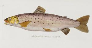 Hand Colored Enraving of a Salmon, 1785-1794 by Baron Carl Von Meidinger