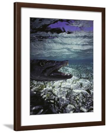 Barracuda in Water-Timothy O'Keefe-Framed Photographic Print