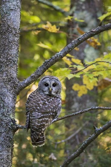 Barred Owl in Fall, Alger County, Mi-Richard and Susan Day-Photographic Print