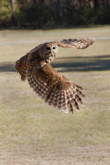 Barred Owl in Flight-Hal Beral-Photographic Print