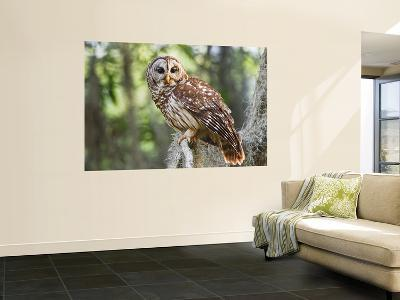 Barred Owl in Old Growth East Texas Forest With Spanish Moss, Caddo Lake, Texas, USA-Larry Ditto-Wall Mural