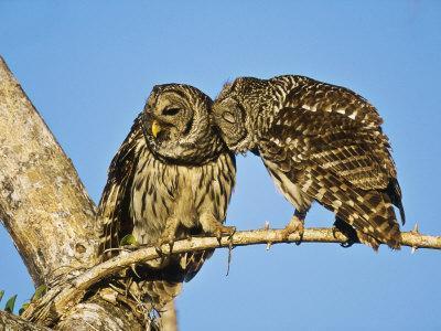 Barred Owl, Pair Bonding, Florida, USA-Stan Osolinski-Photographic Print