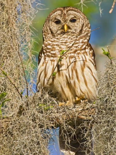 Barred Owl perched in cypress tree, Texas, USA-Larry Ditto-Photographic Print
