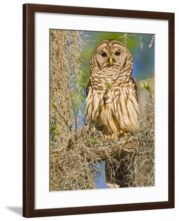 Barred Owl perched in cypress tree, Texas, USA-Larry Ditto-Framed Photographic Print