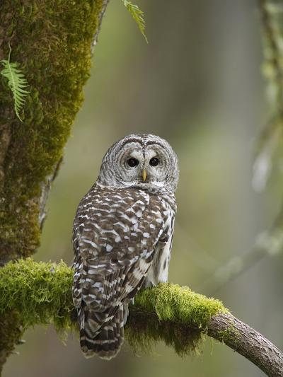 Barred Owl Perched on Mossy Branch, Victoria, Vancouver Island, British Columbia, Canada.-Jared Hobbs-Photographic Print