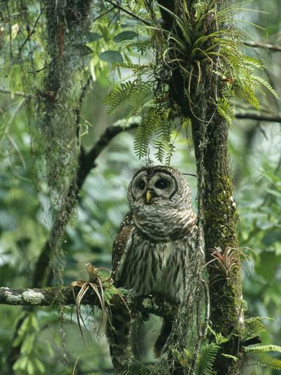 Barred Owl Perches on a Tree Branch Amid Air Plants-Klaus Nigge-Photographic Print