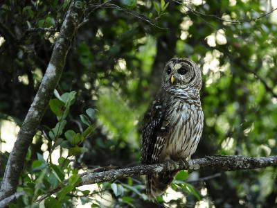 Barred Owl Sitting on a Tree Branch-Raul Touzon-Photographic Print