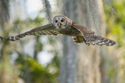 Barred Owl (Strix Varia) in Bald Cypress Forest on Caddo Lake, Texas, USA-Larry Ditto-Photographic Print