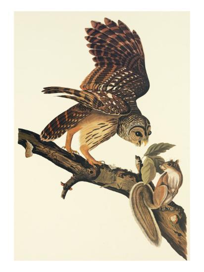 Barred Owl-John James Audubon-Art Print