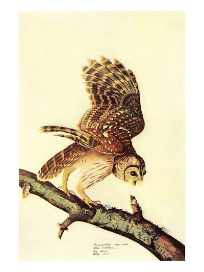 Barred Owl-John James Audubon-Art Print