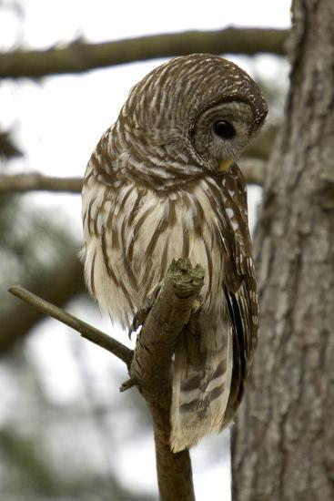 Barred Owl-Linda Wright-Photographic Print