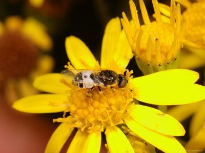 Barred Snout Soldier Fly, Adult Feeding on Yellow Flower, UK-Keith Porter-Photographic Print