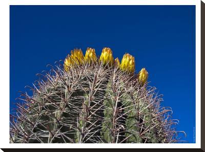Barrel Cactus-Murray Bolesta-Stretched Canvas Print