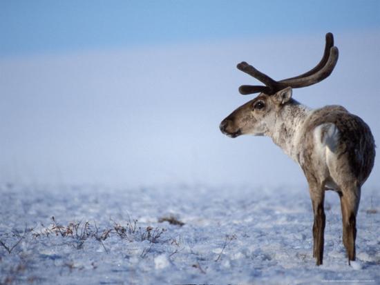 Barren Ground Caribou, Arctic National Wildlife Refuge, Alaska, USA-Steve Kazlowski-Photographic Print