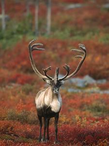 Barren-Ground Caribou on Autumn Tundra near Whitefish Lake, NWT, Canada