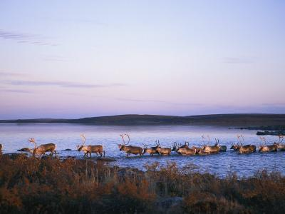Barren-Ground Caribou Swim Across a River During Their Annual Migration--Photographic Print