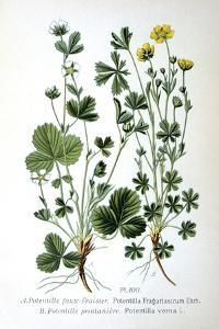Barren Strawberry and Spring Cinquefoil, 1893