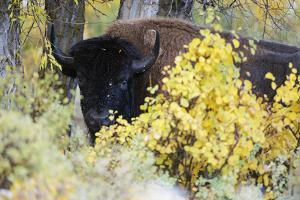 A Bison Looks around the Fall Colors by Barrett Hedges