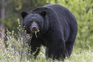 A Black Bear, Ursus Americanus, Eats Dandelions by Barrett Hedges
