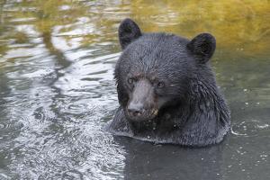 A Black Bear, Ursus Americanus, Enjoys a Bath by Barrett Hedges