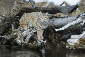 A Bobcat Walks on Driftwood to Get a Drink of Water by Barrett Hedges