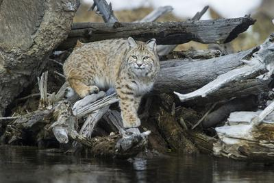 A Bobcat Walks on Driftwood to Get a Drink of Water