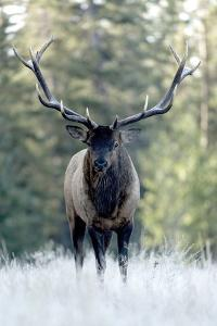 A Bull Elk, Cervus Canadensis, Stands in a Frost Covered Meadow by Barrett Hedges