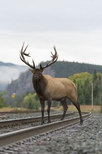 A Bull Elk, Cervus Canadensis, Stands on a Train Track by Barrett Hedges