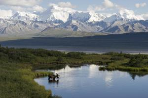 A Bull Moose, Alces Alces, Enters a Kettle Pond in the Backcountry of Denali National Park by Barrett Hedges