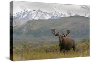 A Bull Moose, Alces Alces, in Denali National Park by Barrett Hedges
