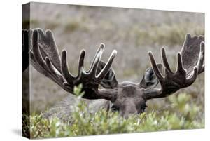 A Bull Moose, Alces Alces, Peers over Tall Willow Shrubs in Denali National Park by Barrett Hedges