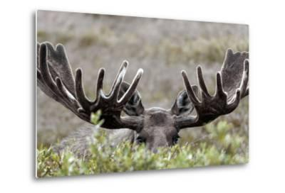 A Bull Moose, Alces Alces, Peers over Tall Willow Shrubs in Denali National Park