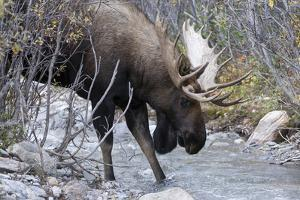 A Bull Moose, Alces Alces, Prepares to Drink from a Stream in Denali National Park by Barrett Hedges