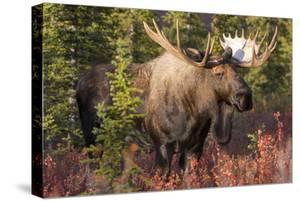 A Bull Moose, Alces Alces, Stands in the Sunlight in Denali National Park by Barrett Hedges