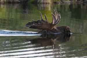 A Bull Moose, Alces Alces, Swims in Denali National Park by Barrett Hedges