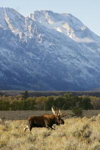 A Bull Moose Walks Proudly in Front of the Mountains by Barrett Hedges