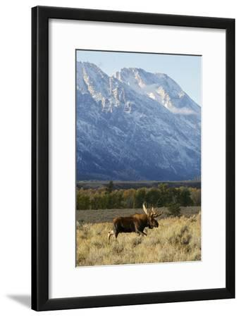 A Bull Moose Walks Proudly in Front of the Mountains