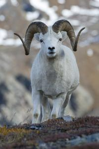 A Dall's Sheep Ram, Ovis Dalli, Stands in a High Mountain Meadow by Barrett Hedges
