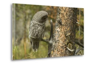 A Great Grey Owl and a Squirrel on the Same Tree Trunk Inspect Each Other
