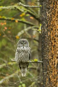A Great Grey Owl Rests During the Day on a Large Tree by Barrett Hedges