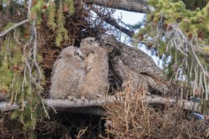 A Great Horned Owl Mother, Bubo Virginianus, Grooms Her Owlets by Barrett Hedges