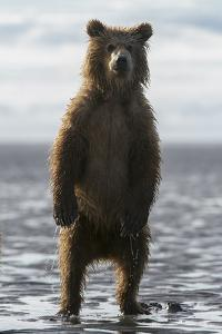 A Grizzly Bear Cub, Ursus Arctos Horribilis, Stands on the Tidal Flats by Barrett Hedges