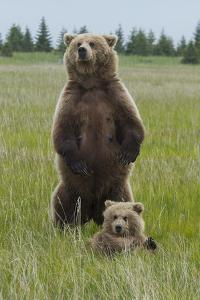 A Grizzly Bear Mother, Ursus Arctos Horribilis, Stands to Protect Her Cub by Barrett Hedges